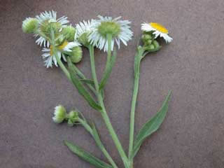 Picture of Daisy Fleabane Bloom