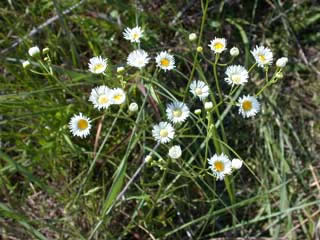 Picture of a Daisy Fleabane Plant