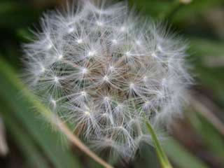Picture of a Dandelion Seed Head