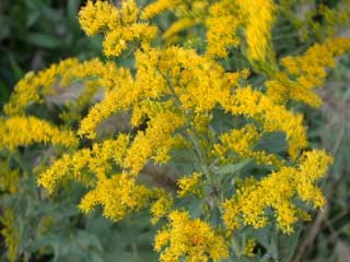 Picture of Goldenrod Blooms