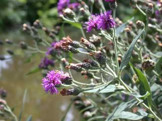 Picture of Ironweed Blooms