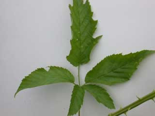 Picture of a Blackberry Leaf