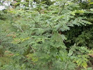 Picture of a Honey Locust Tree