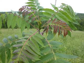 Picture of Sumac Leaves