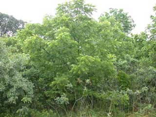 Picture of a Walnut Tree