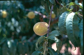 Photo of a peach tree with spotted peaches showing symptoms of peach scab