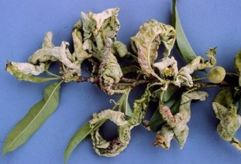 photo of a branch of peach leaves that are all curled up and wilted a symptom of peach leaf curl/blister
