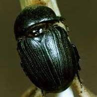 Photo of a black Sugarcane Beetle crawling up a plant stalk