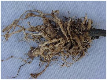 Root-knot nematode infestation of tomato roots
