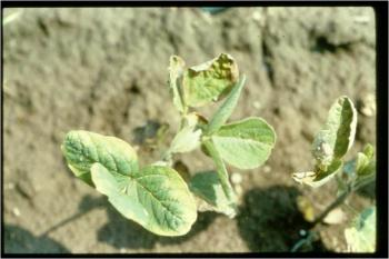 metribuzin damage on soybean