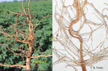 Photos of plant roots that are diseased.