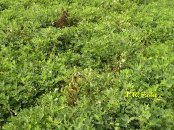 Field of green peanut plants with a few brown diseased plants in it.