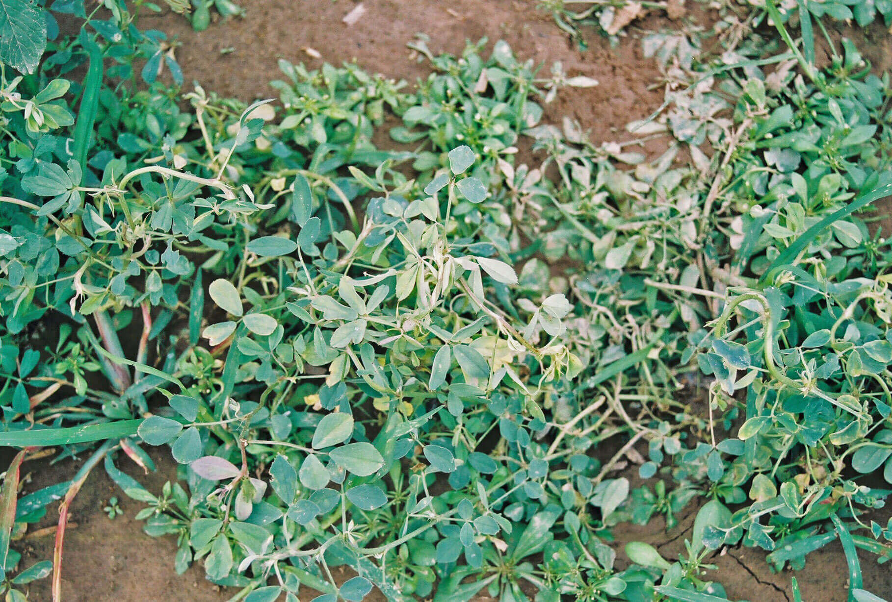 Alfalfa with Quinclorac Direct application