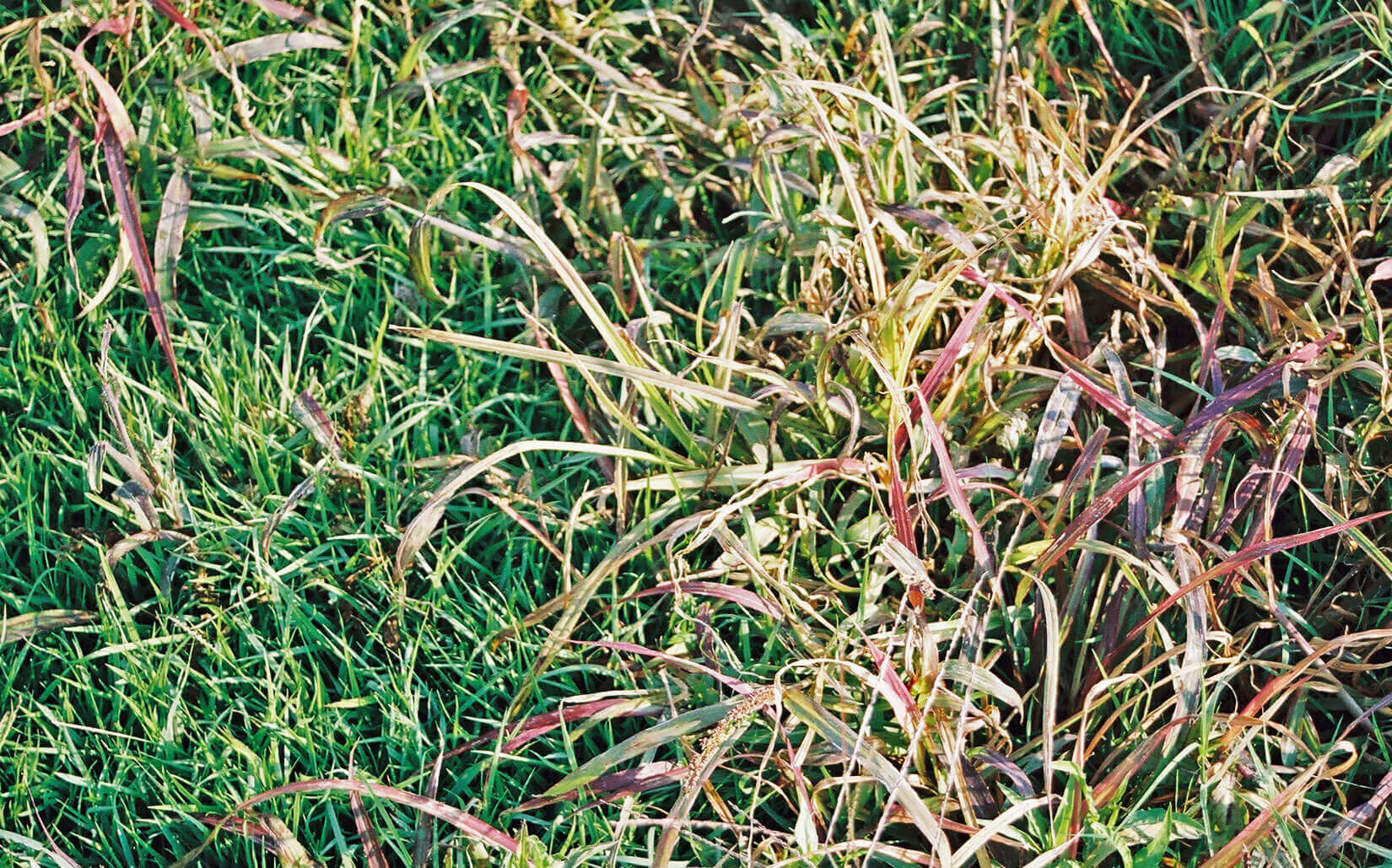 Bermuda with Foramsulfuron Direct Application