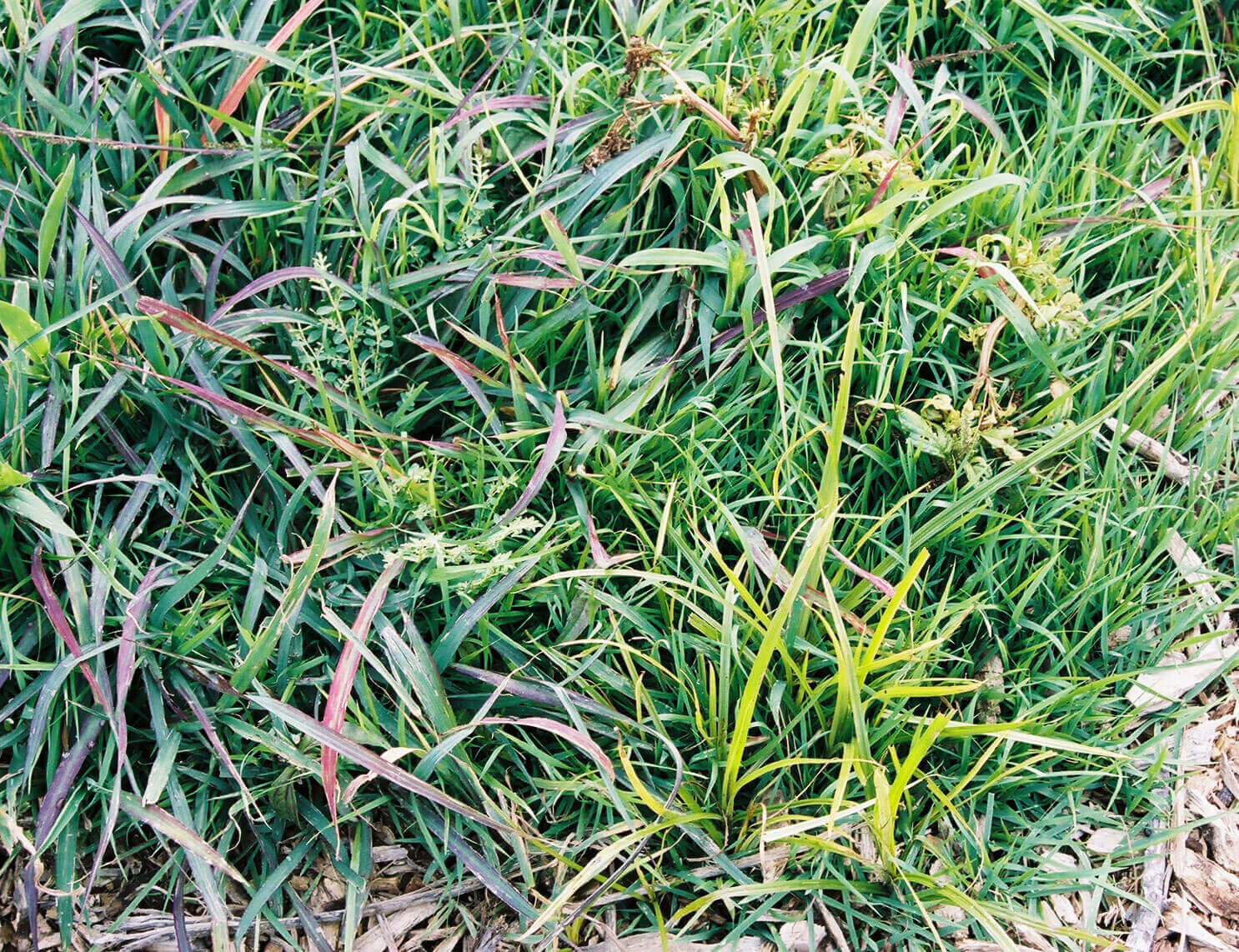 Bermuda with Sulfosulfuron Direct application