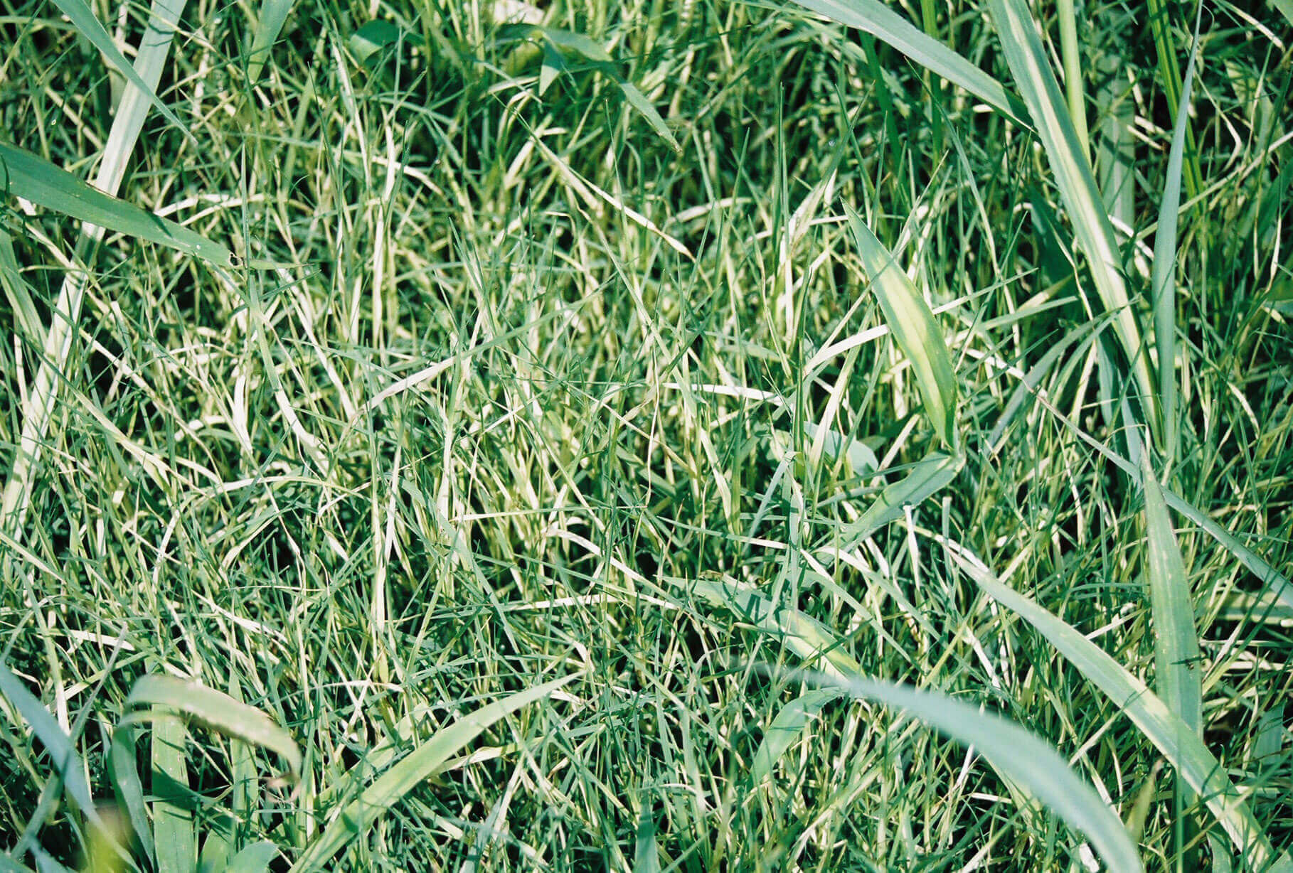 Bermuda with Clomazone Direct Application