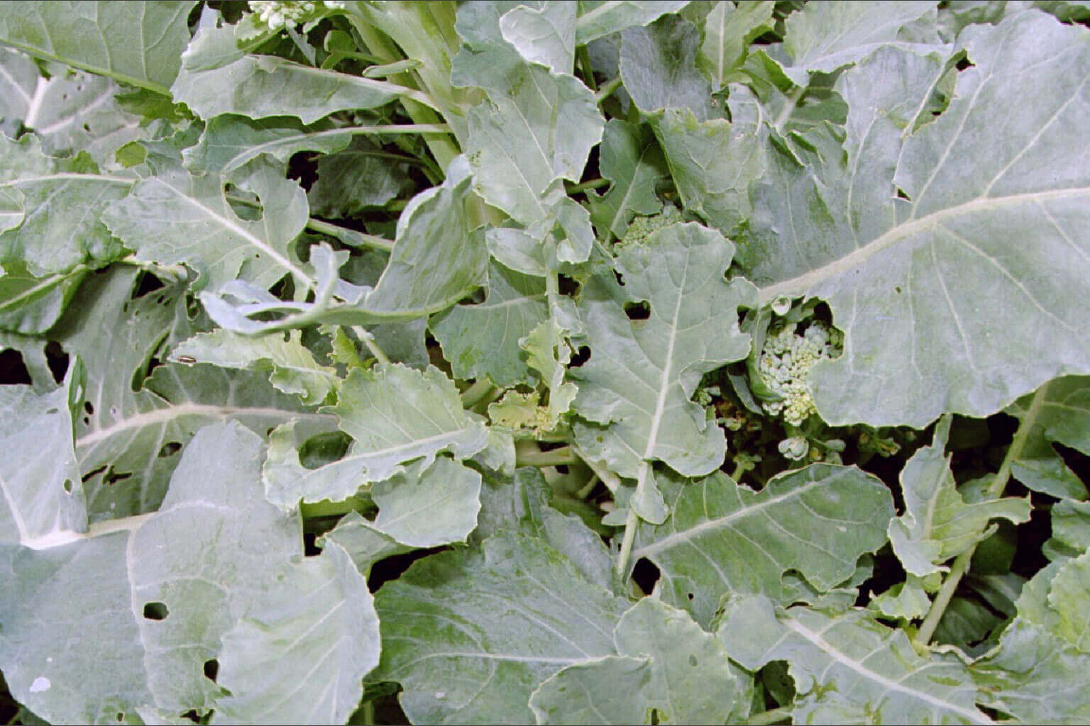 Broccoli with Clomazone Direct Application