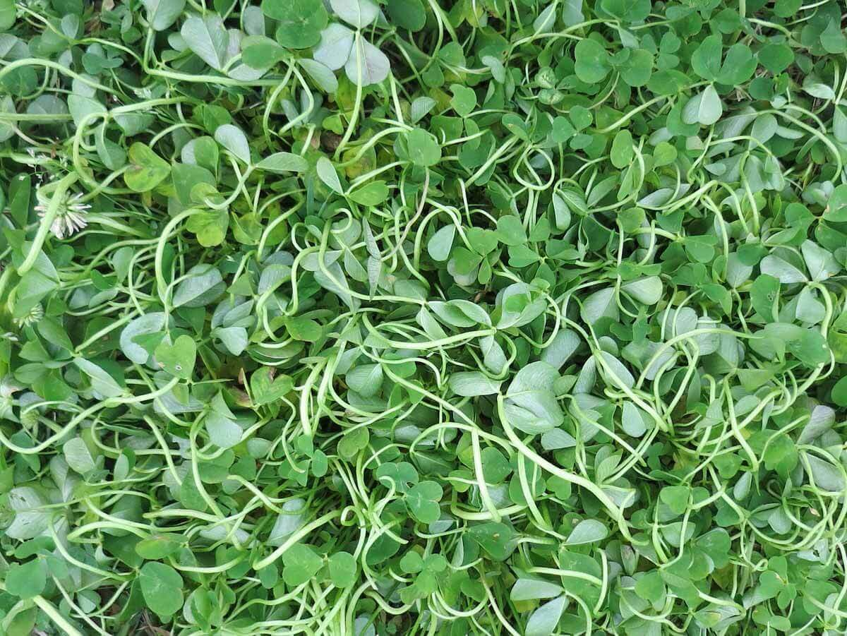 Clover with 2,4-D Direct Application