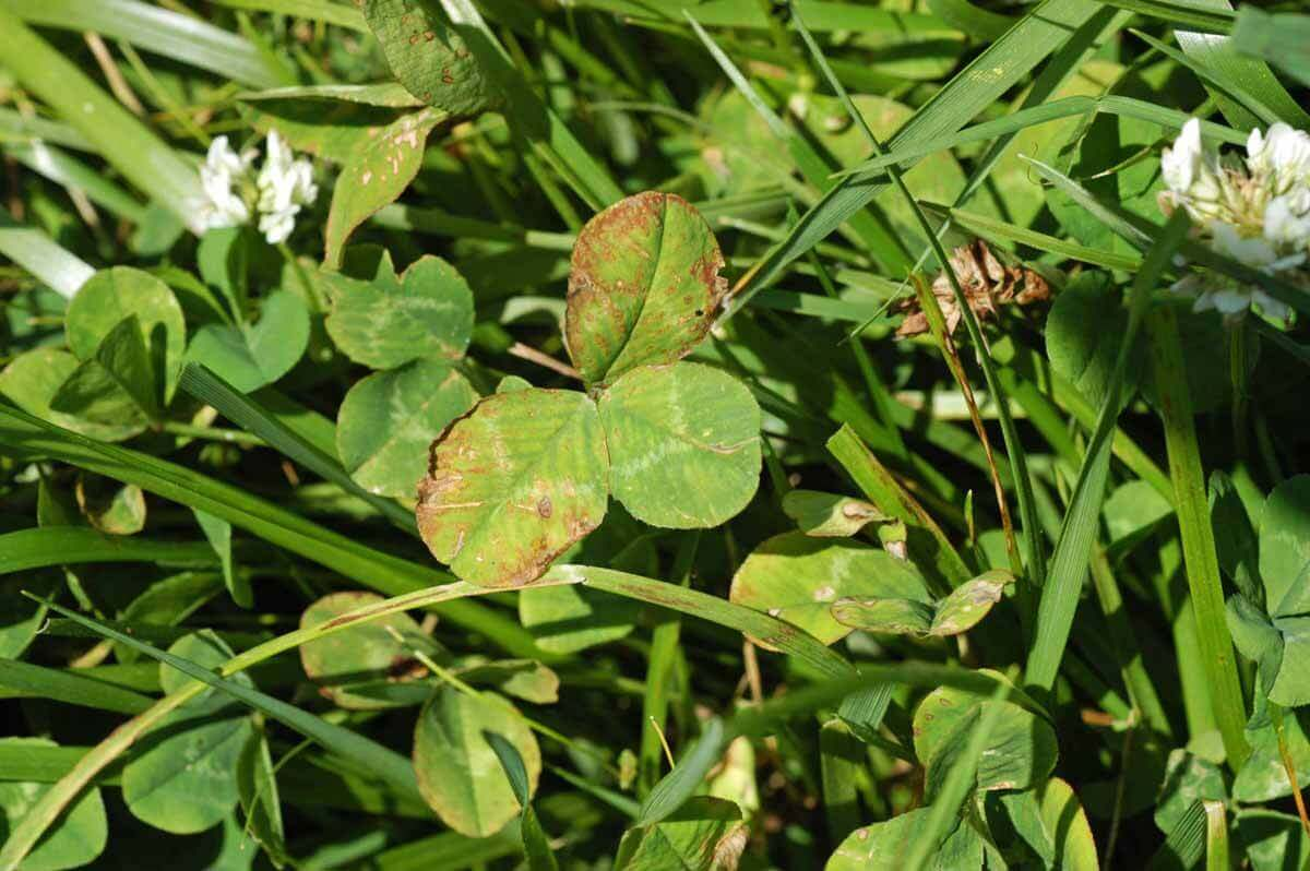 Clover with Carfentrazone Direct Application