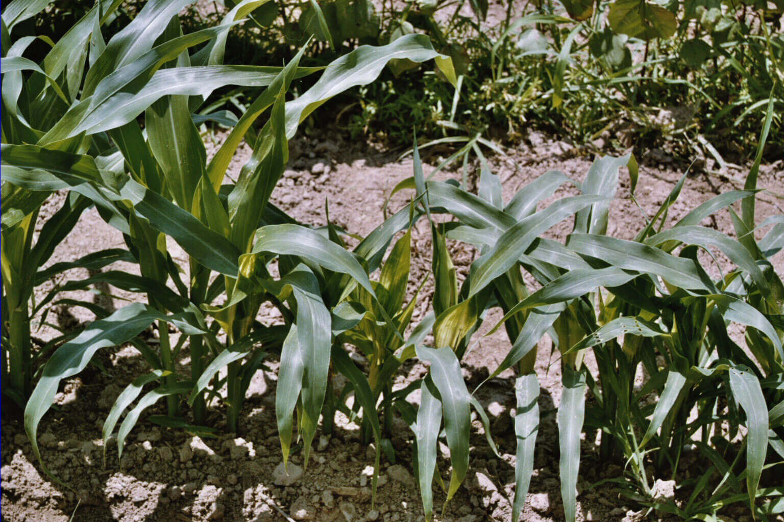 Corn with Penoxsulam Direct Application