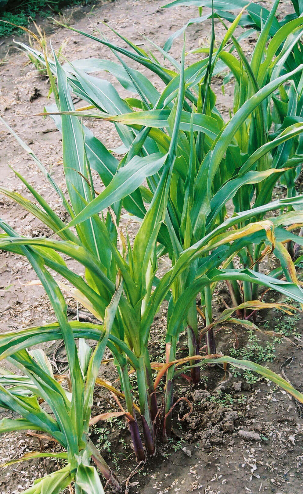 Corn with Glyphosate Direct Application