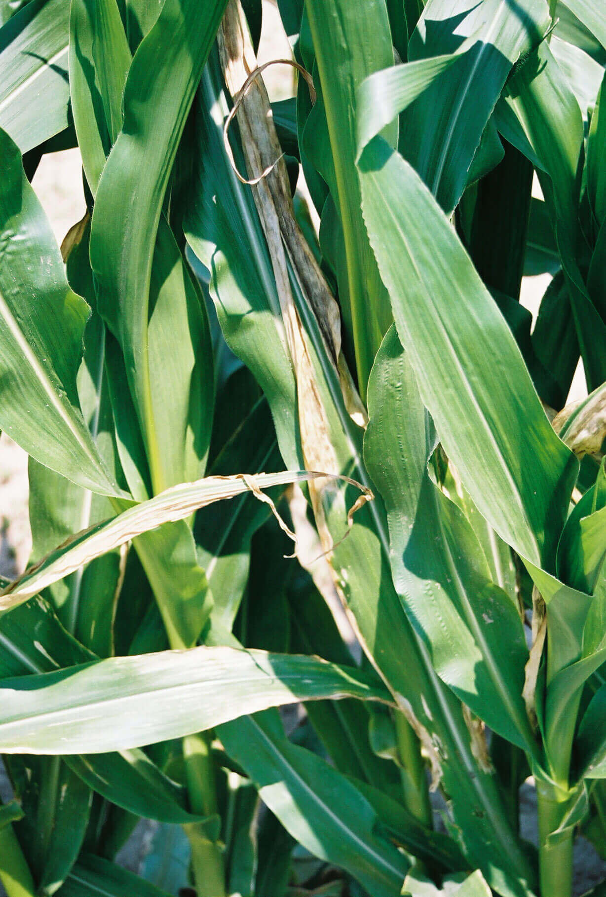 Corn with Propanil Direct application