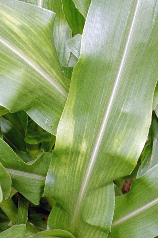 Corn with Clomazone Direct Application