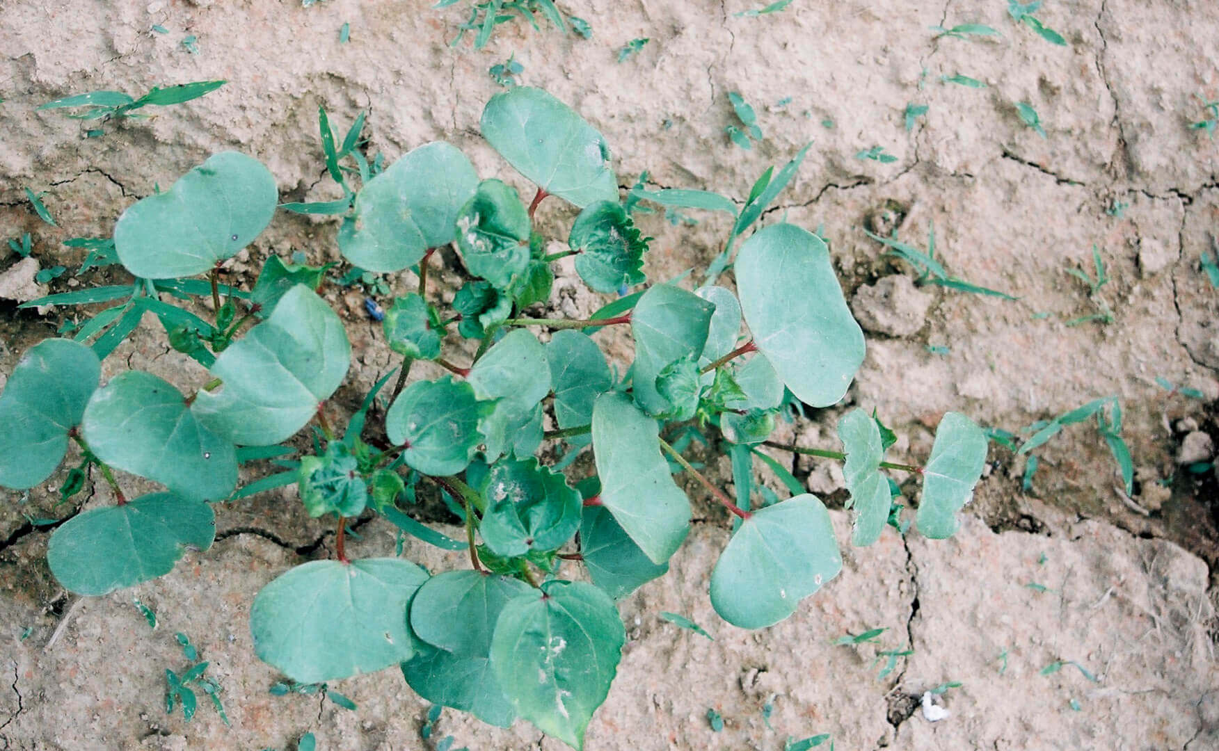 Cotton with Dicamba Direct Application
