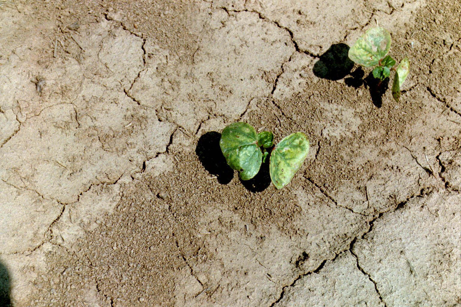 Cotton with Atrazine Direct Application