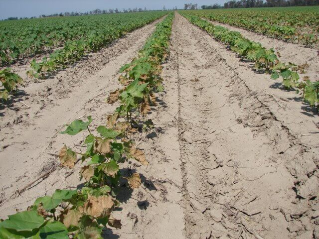 Cotton with Prometryn Direct Application