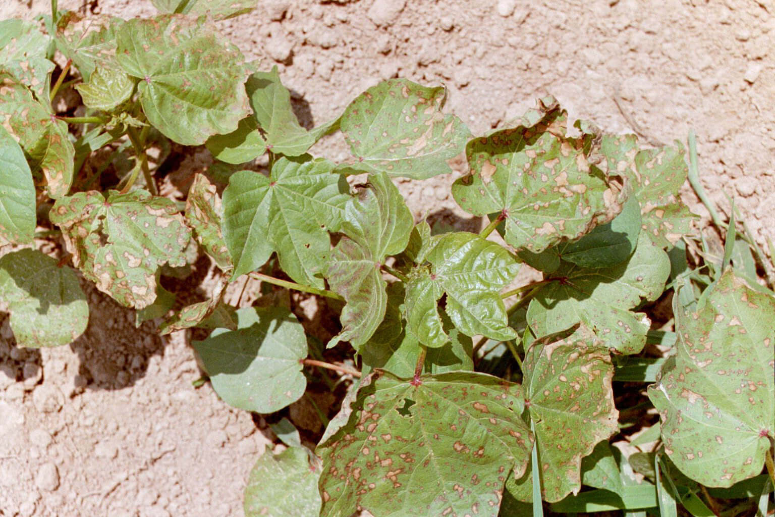 Cotton with Propanil Direct application