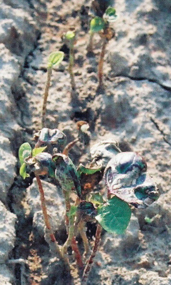 Cotton with Sulfentrazone Direct application