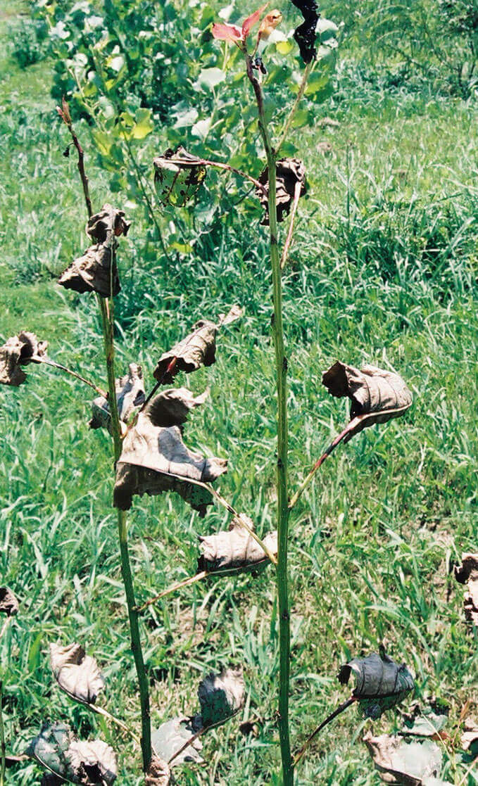 Cottonwood with Paraquat Direct Application
