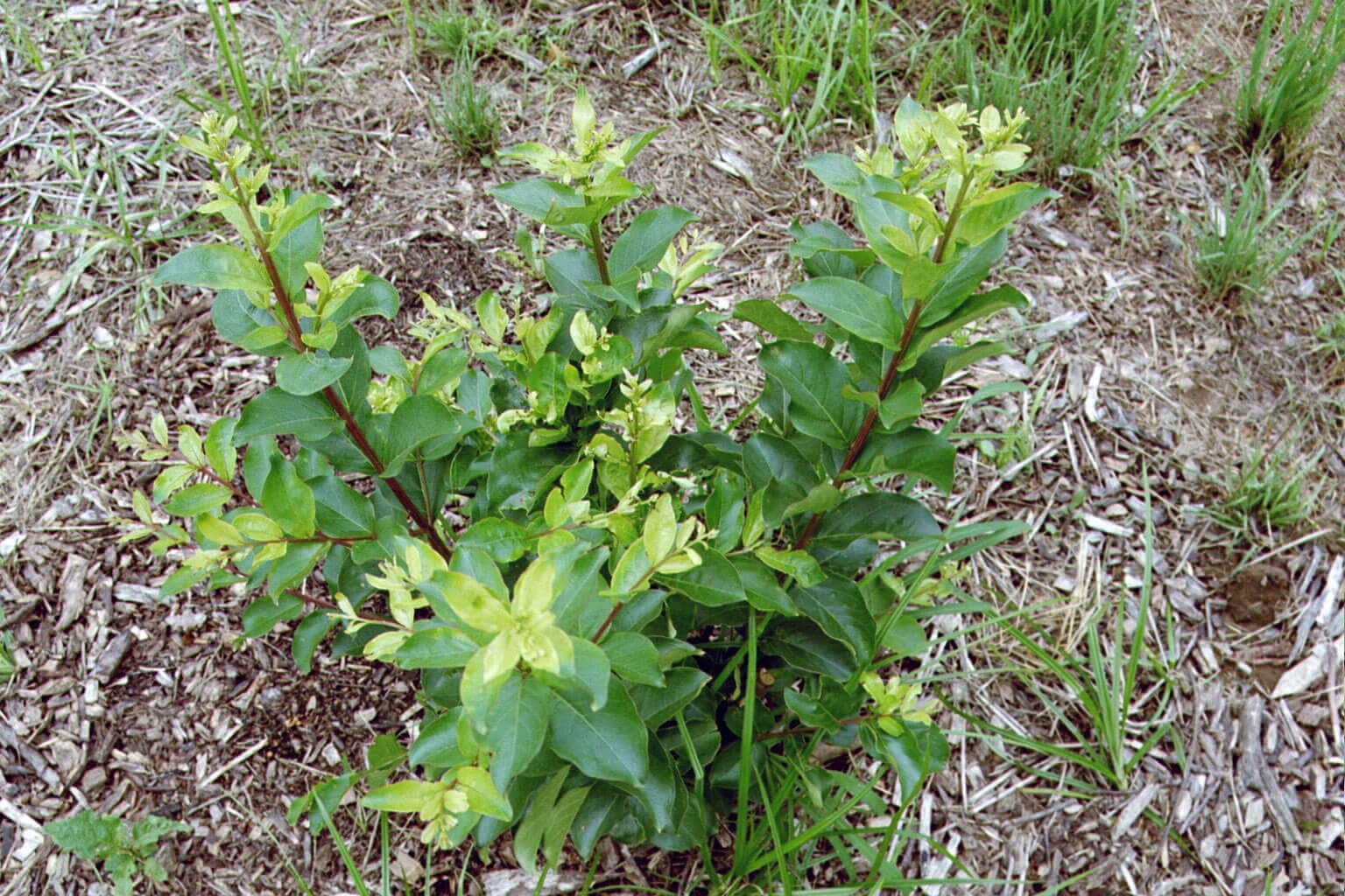 Crape Myrtle with Glyphosate Direct Application
