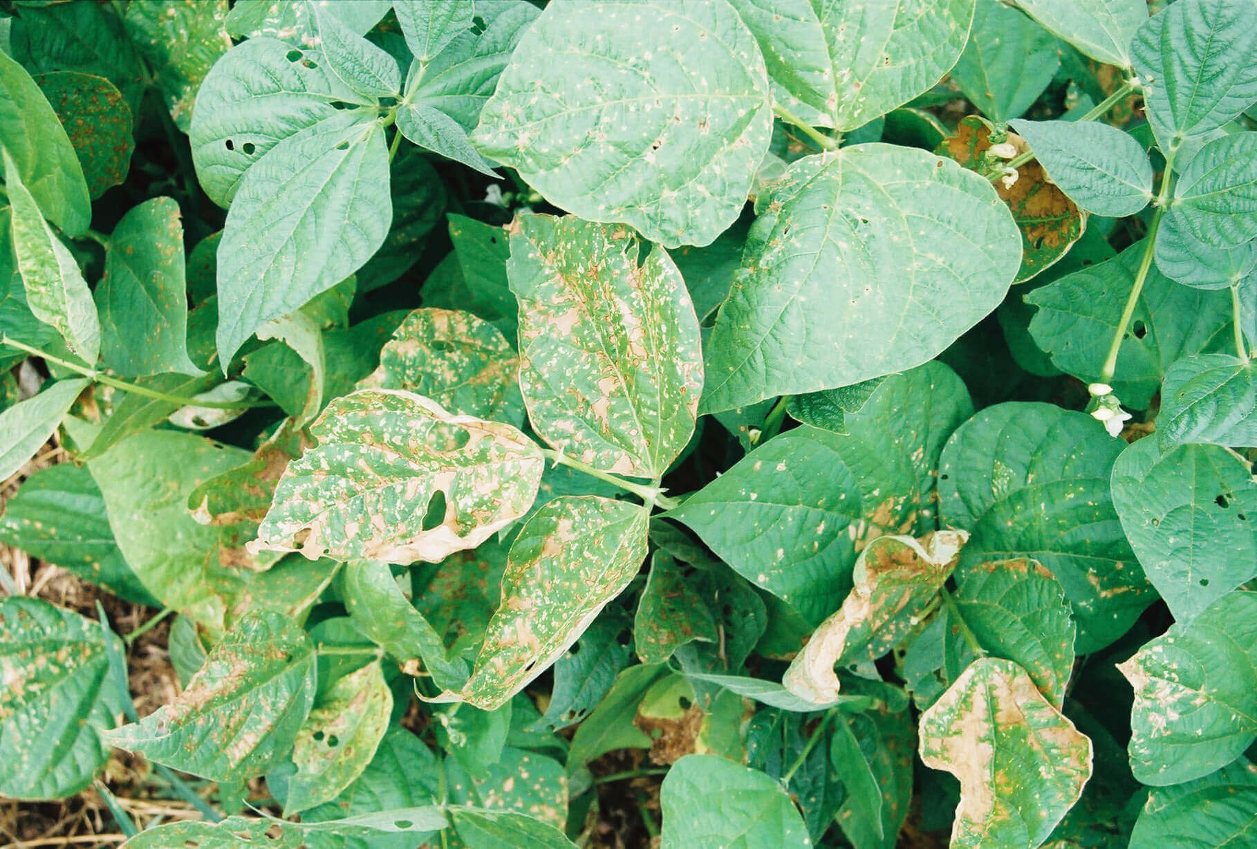 Green Bean with Paraquat Direct Application
