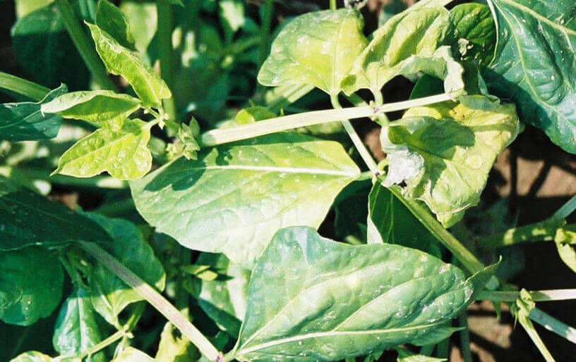 Green Bean with Glyphosate Direct Application