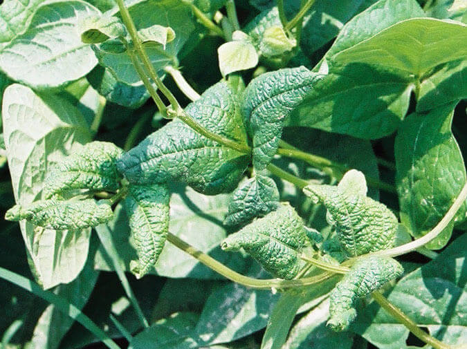 Green Bean with Quinclorac Direct application