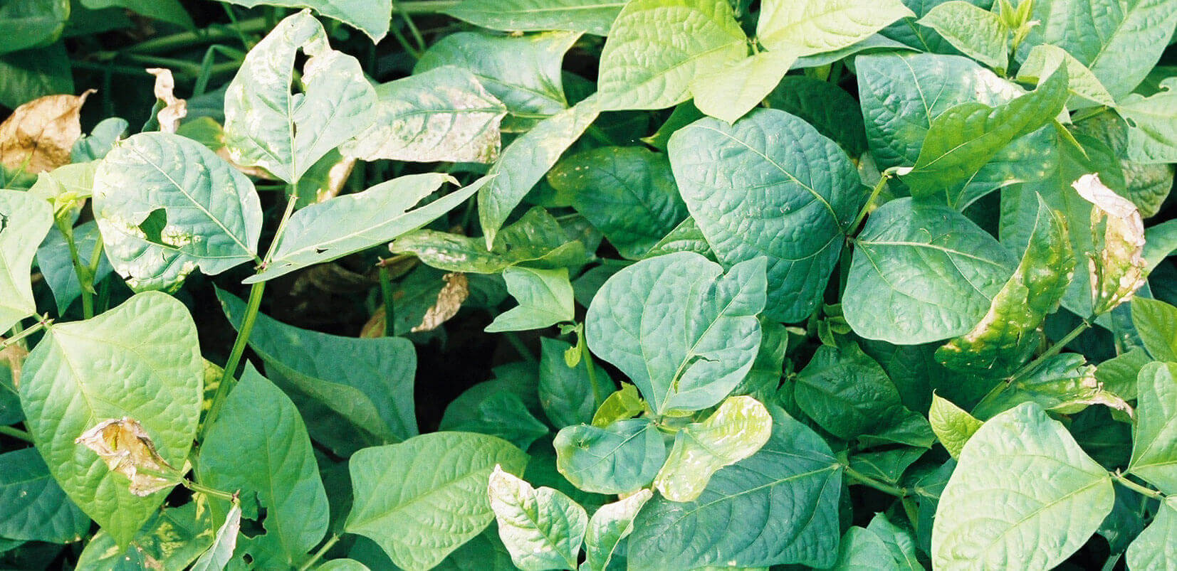 Green Bean with Propanil Direct application