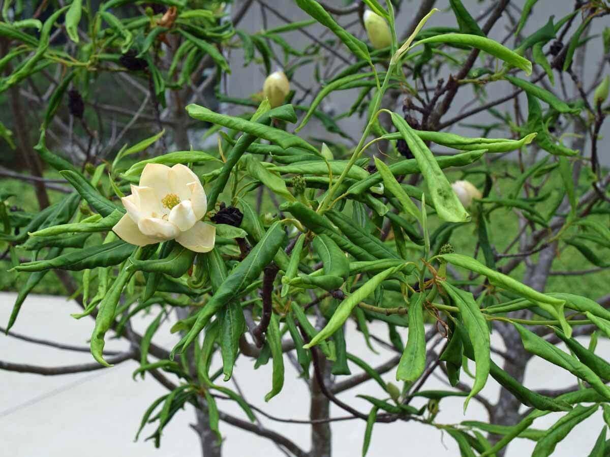 43 Magnolia