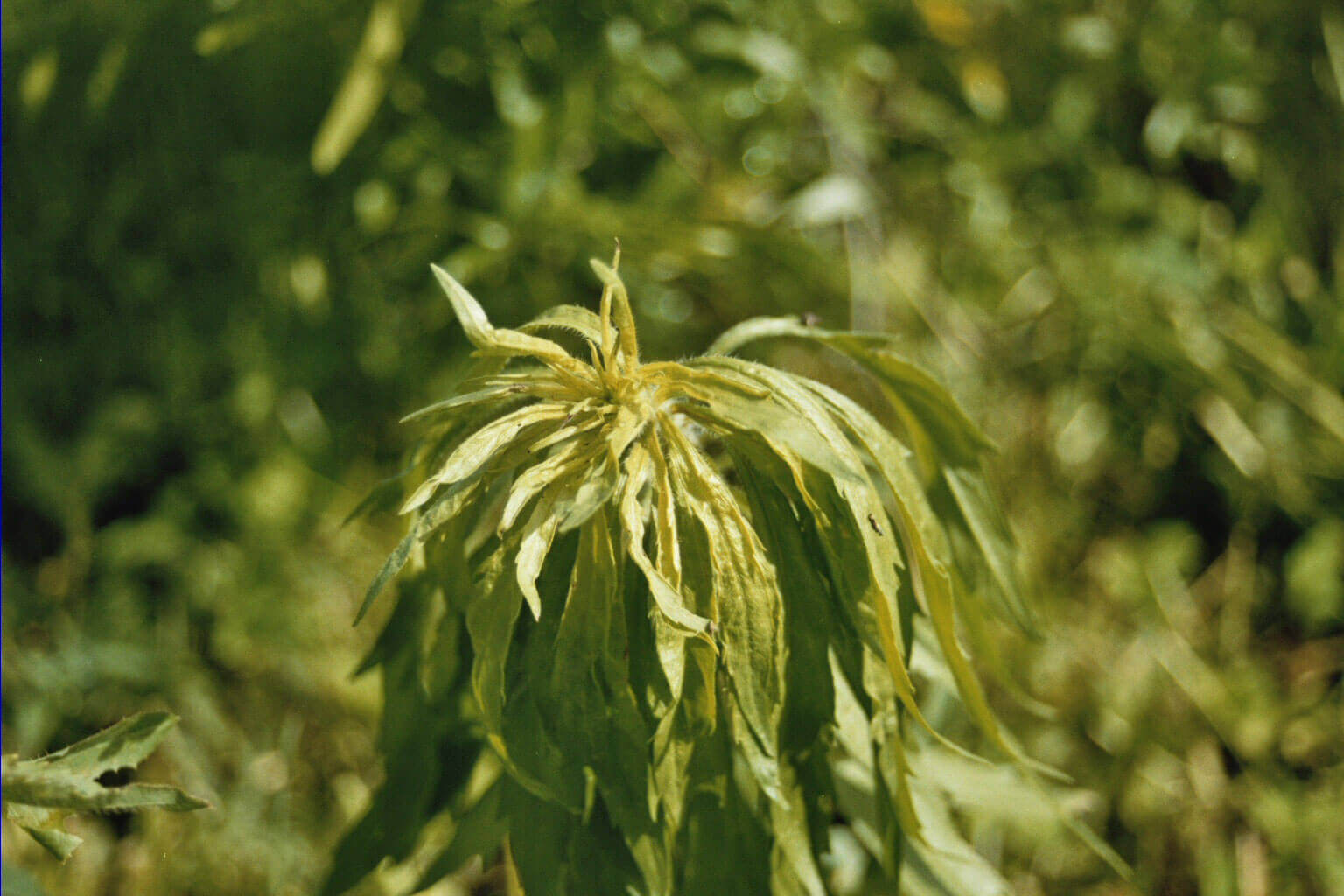 Marestail with Glyphosate Direct Application