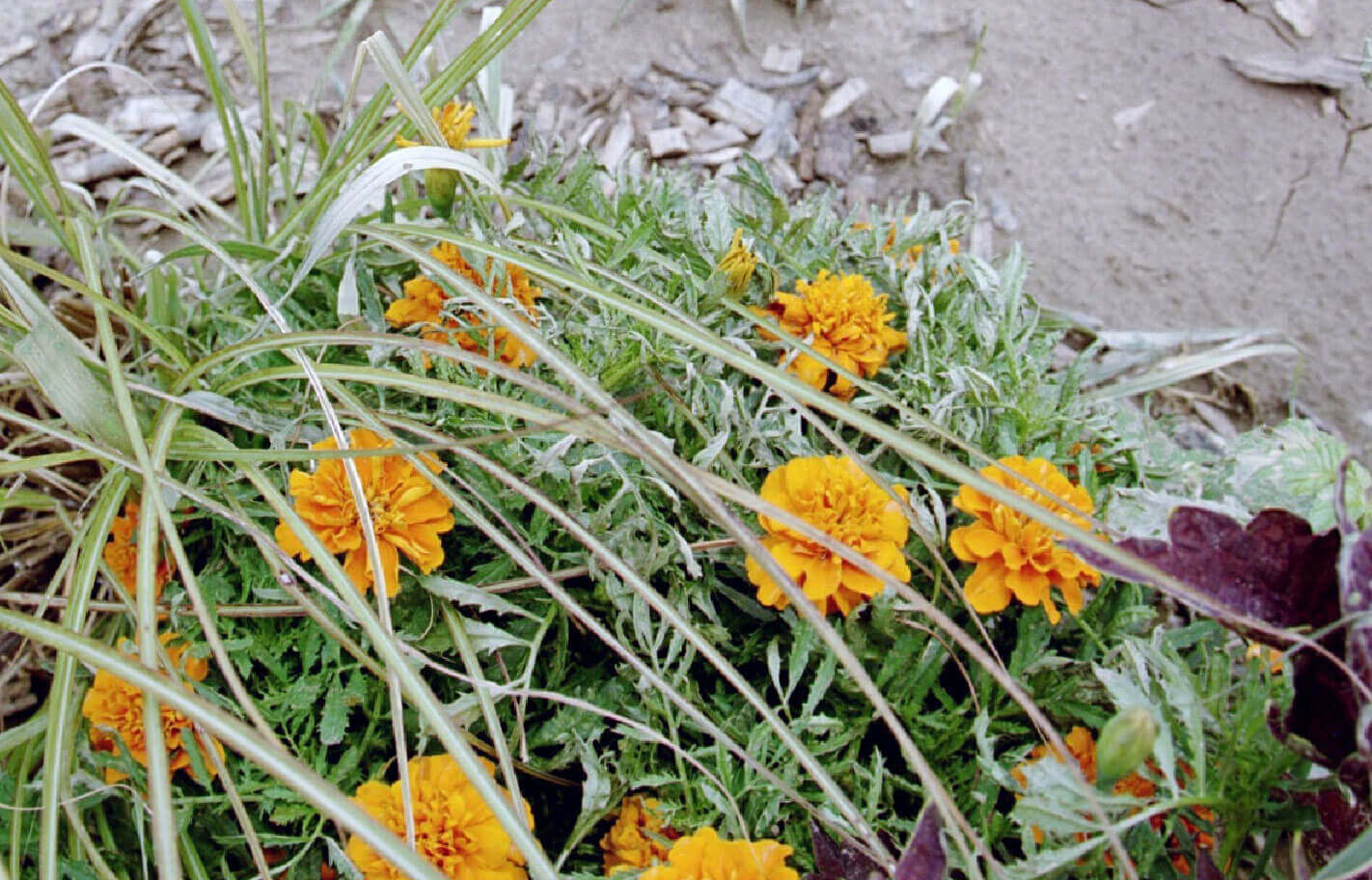 Marigold with Paraquat Direct Application