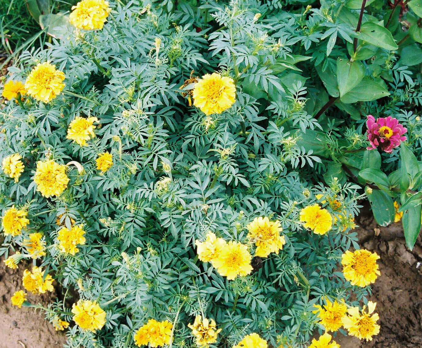 Marigold with Quinclorac Direct application