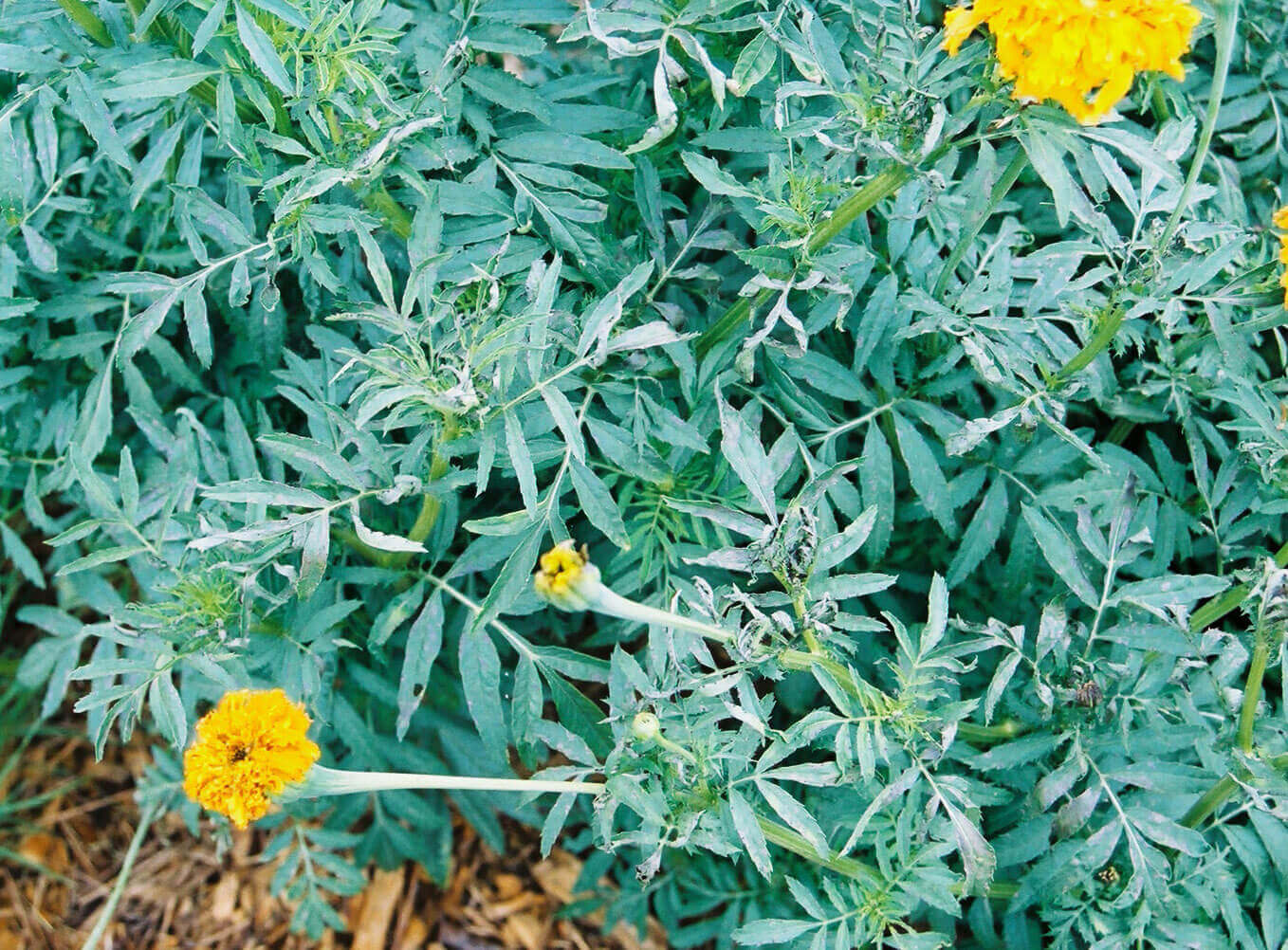 Marigold with Bromoxynil Direct Application