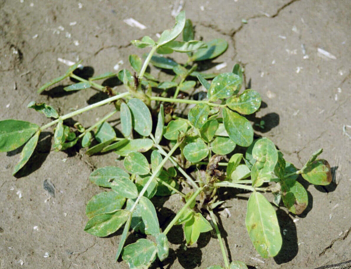 Peanut with Glyphosate Direct Application