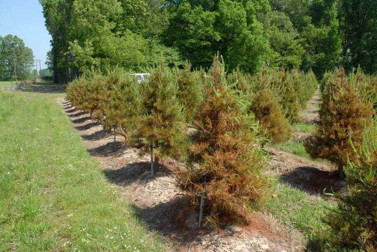 65 Pine