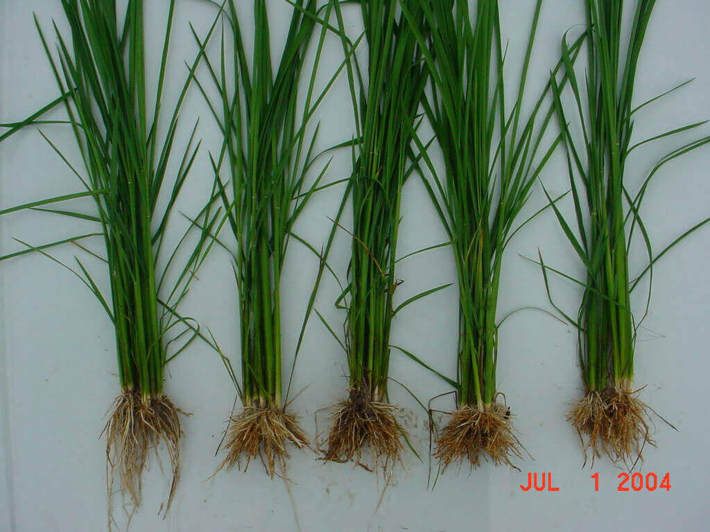 Rice with Penoxsulam Direct Application