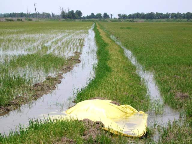 Rice with Glyphosate Direct Application