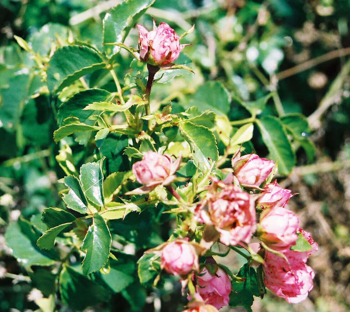 Rose with Imazethapyr Direct Application