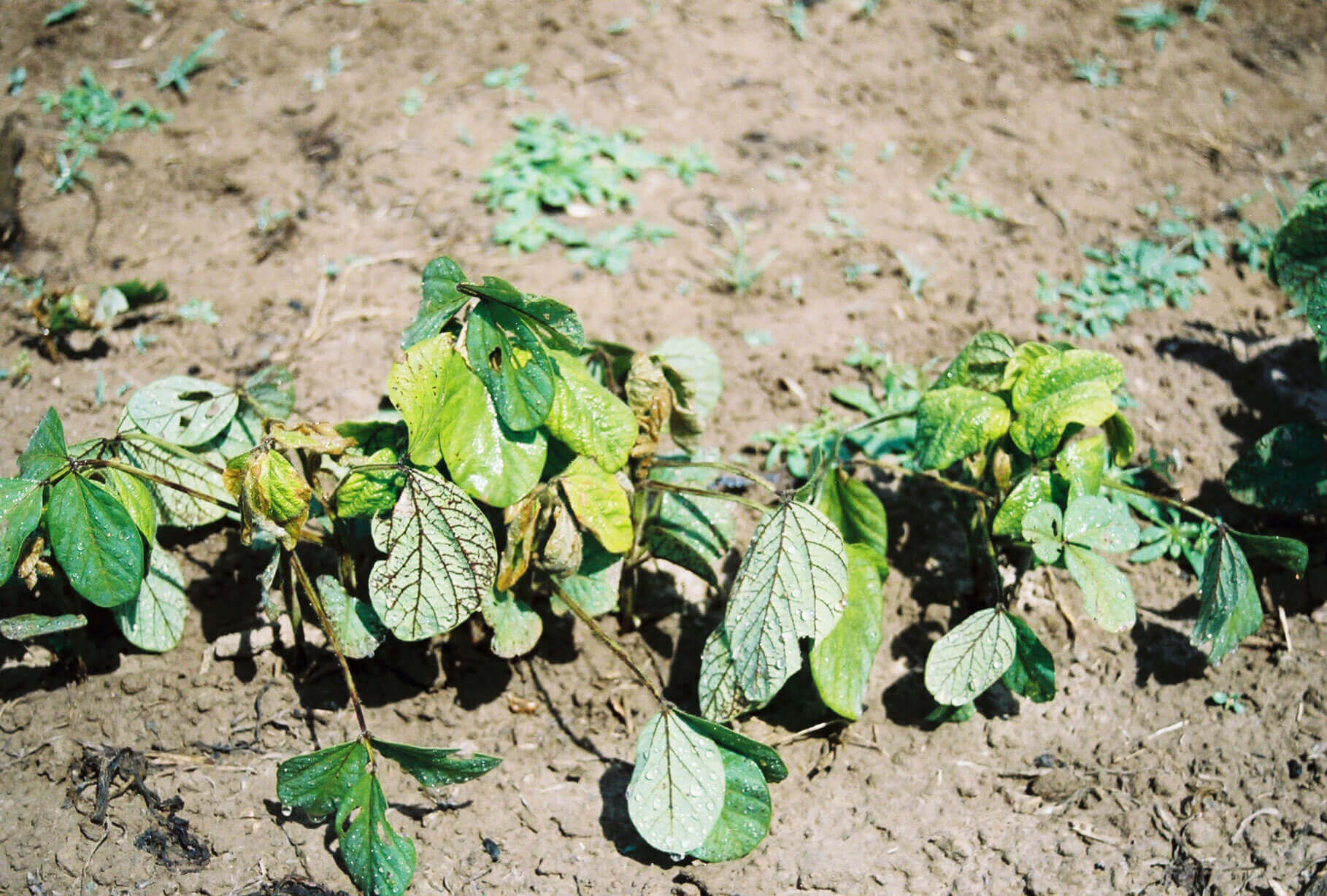 Soybean with Halosulfuron Direct Application