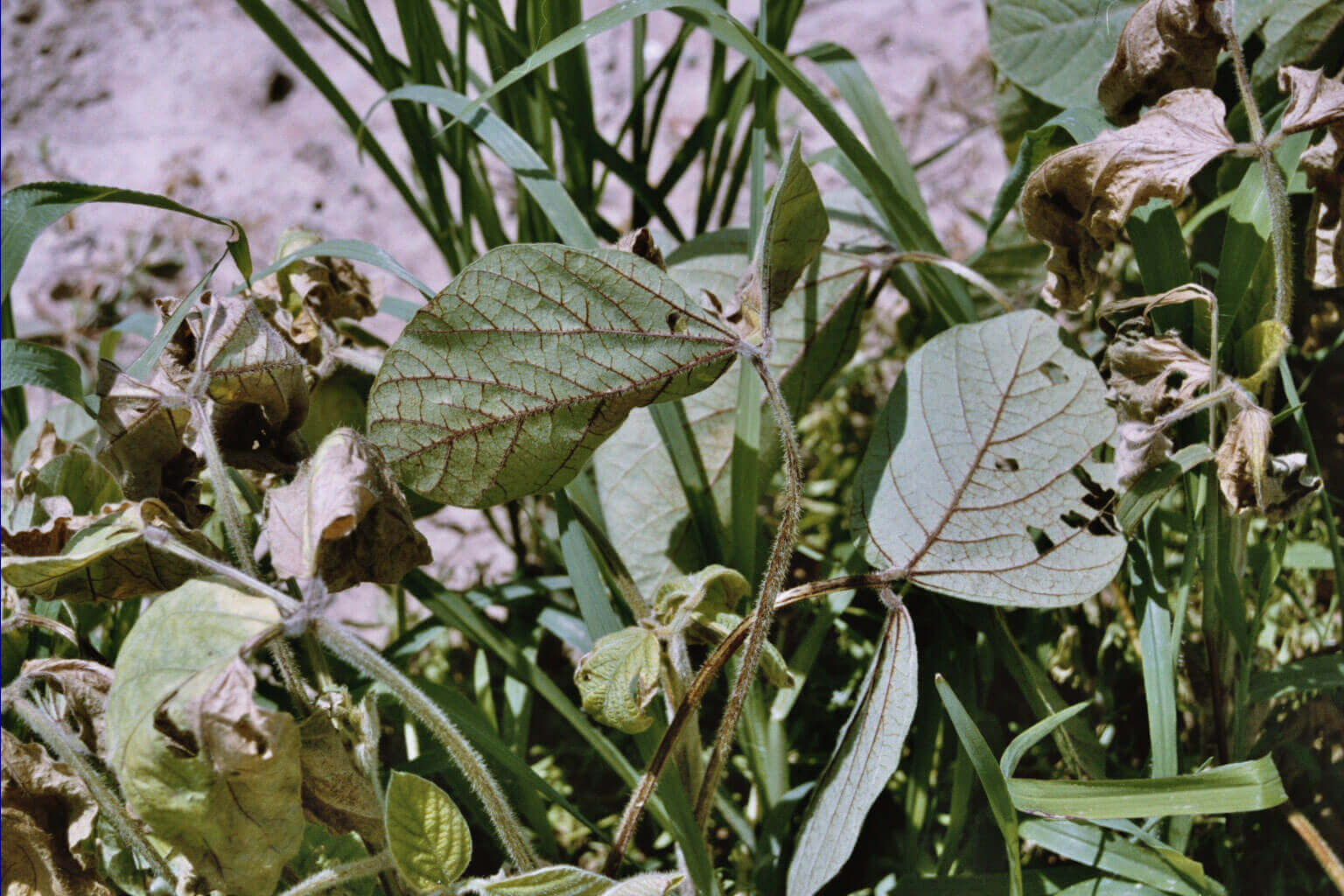 Soybean with Penoxsulam Direct Application